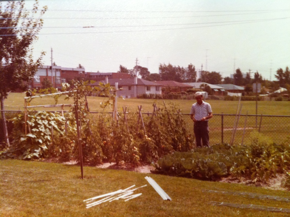 Nonno Genesio standing beside his tomato plants at his Jane and Sheppard home